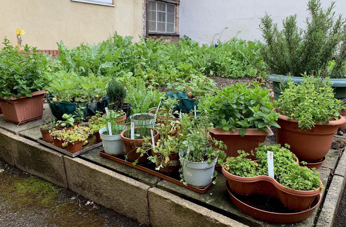 #Behindthescenes Our Kitchen Garden. Herbs in the pots in the foreground; salads, wild flowers and soil improvers behind. A mini oasis of green! #GNJ #Aylesbury #gardening #herbs #salads #growyourown #kitchen