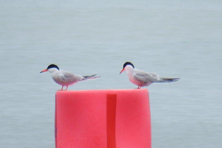 Common tern today Mudeford quay,  Dorset @WildlifeMag @BritBirdLovers @TheGreatHeath @BBCSpringwatch<br>http://pic.twitter.com/l6ZK5wq192