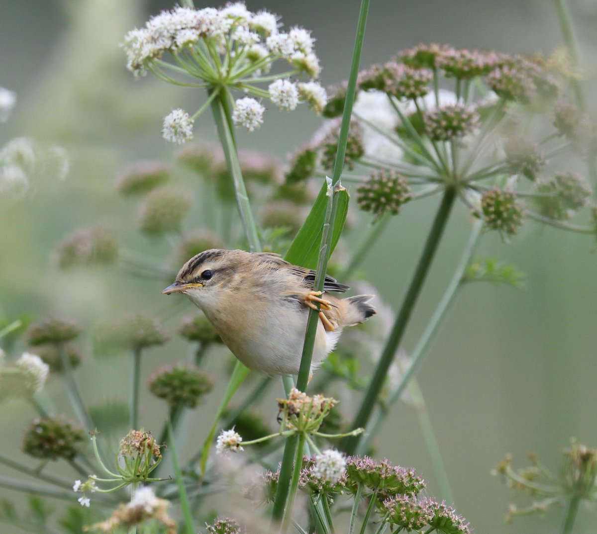 Another joy was watching this young #SedgeWarbler finding its way in the world at RSPB #Radipole #Weymouth #Dorset <br>http://pic.twitter.com/h8Q7pbf88G