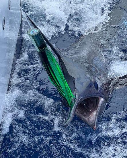 Grand Canary - Capt. Hafid on Cavalier went 1-3 on Blue Marlin.