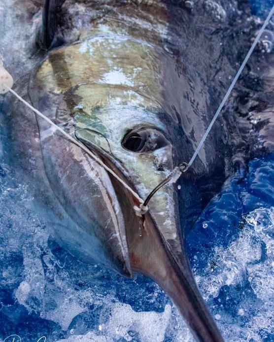 Cape Verdes - Hooker went 1-2 on Blue Marlin.