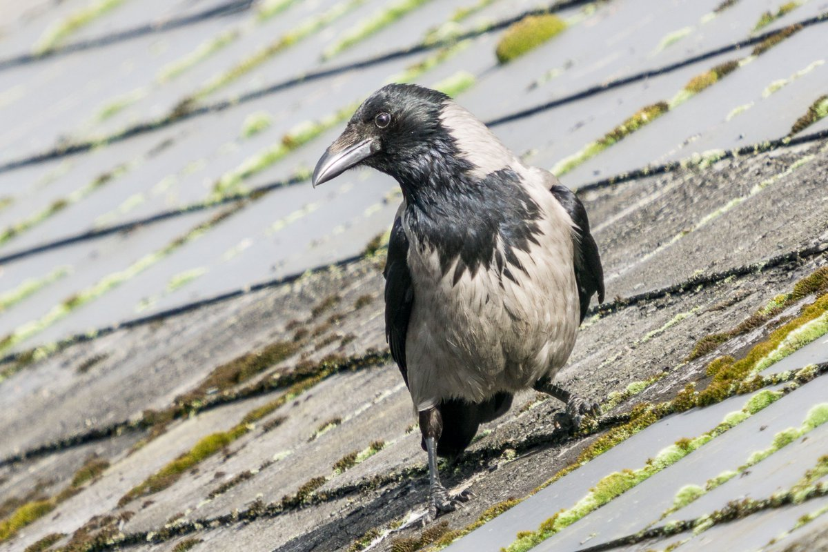 Hooded Crows are relatively uncommon around Glasgow, compared to the abundance of Carrion Crows and Jackdaws. @RSPBScotland<br>http://pic.twitter.com/nlL5hUPspT