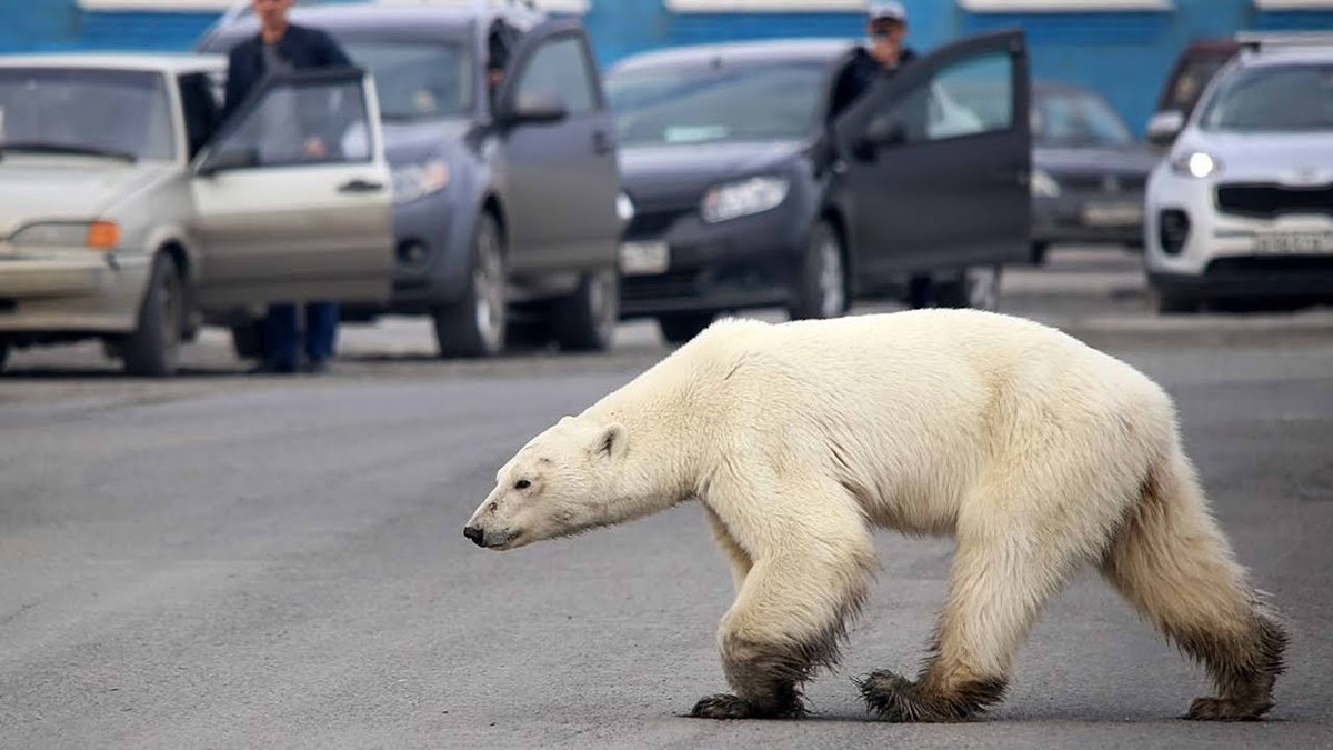 #MostWatched Stricken polar bear spotted in Russian city, far from home