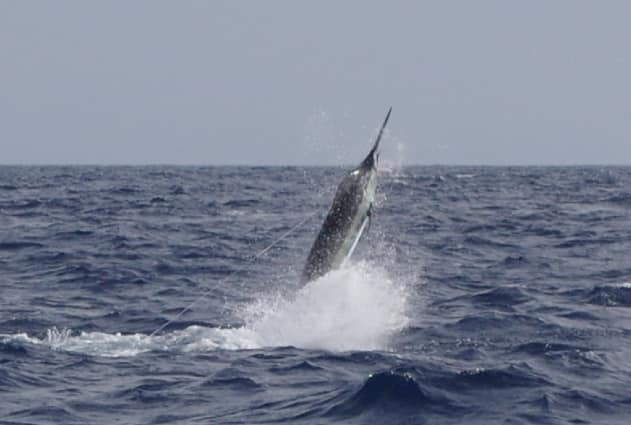 Cape Verdes - Mystic Blue released a Blue Marlin.