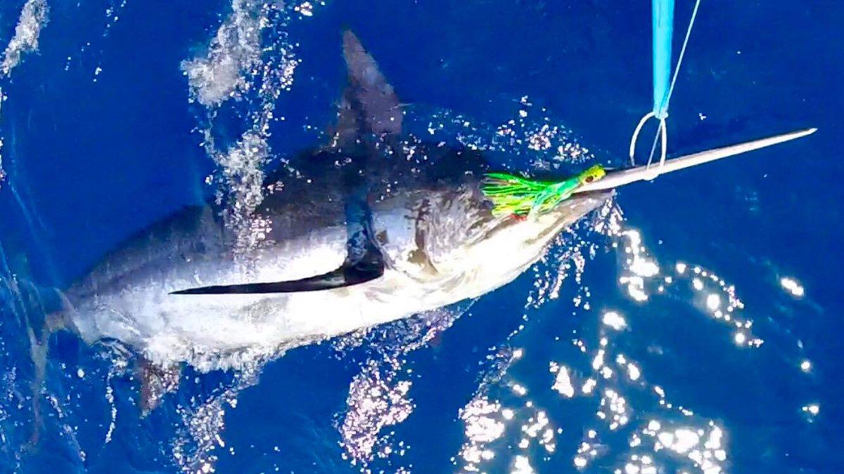 Grand Canary - Capt. Perico Betancor released a Blue Marlin (700). #MarlinStar #BillfishADay