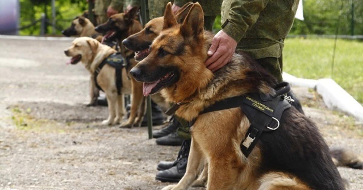 Картинки служебная собака