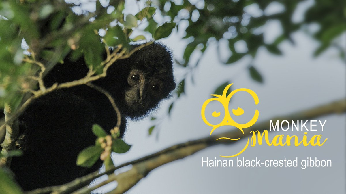 Monkey Mania: Hainan black-crested gibbon http://bit.ly/2x4XFL0