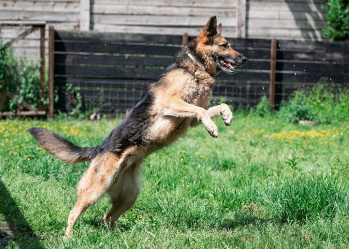 8yr old Kane has now moved to our oldies section which is always sad to see but this lad really does not know his age, he is still full of fun and we would love to see him in a forever home #dogs #GermanShepherd #Essex gsrelite.co.uk/kane-6/