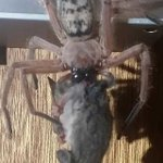 Image for the Tweet beginning: Huntsman spider found feasting on