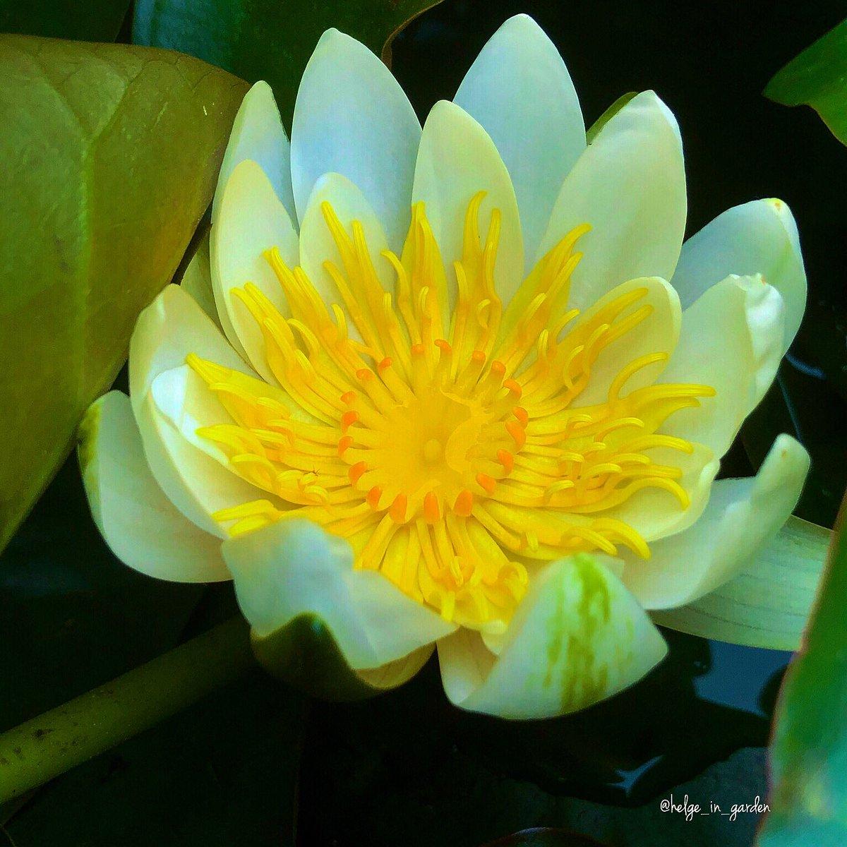GardeninNorway on Twitter: Waterlily in a pond in our garden - June 20.                        #mygarden #flowers #gardeningtips #perennials #gardener #gardendesign #plants  #plantoftheweek #waterlily #botany #naturelovers #plantsarecool #flowersforall #gardens…