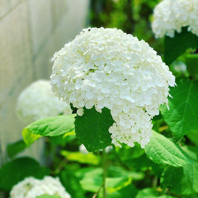 白い 紫陽花 花 言葉