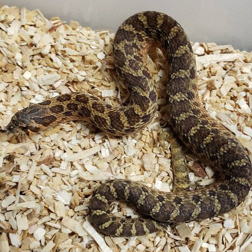 Sable 66 Het Toffee Male Western Hognose by Shovenose82, $2600