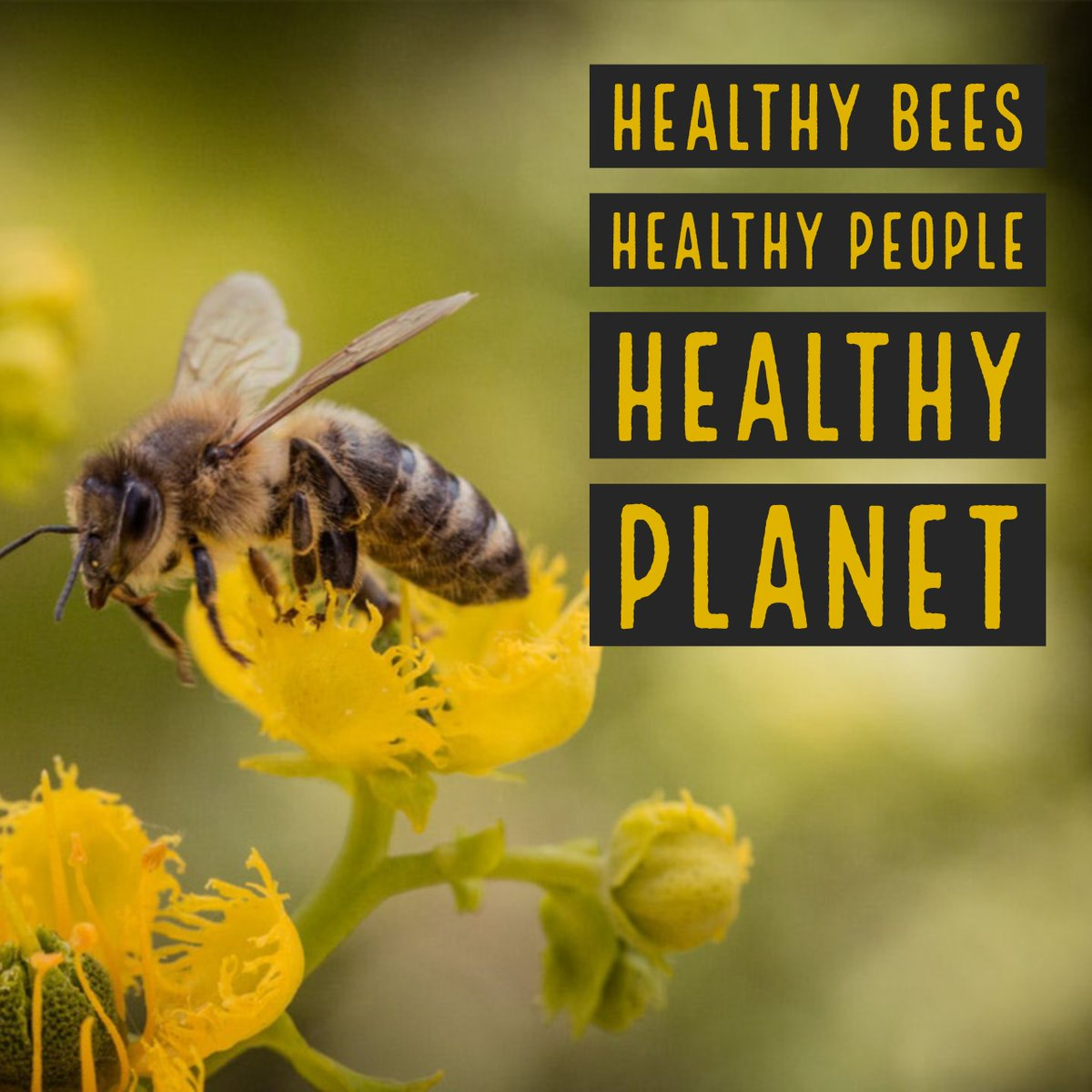 #DYK more than 40 species of bees eat corn pollen and live in corn fields? Corn growers work with the Honey Bee Health Coalition to protect bees and create healthy habitats! Learn more here: https://bit.ly/2OYtzB3 #TexasCorn #savethebees