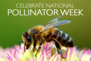 It's National Pollinator Week, so pick up some native, #pollinatorfriendly summer-blooming #perennials, including three varieties of #milkweed, all available from Carolina Heritage Nursery #nationalpollinatorweek #savethebees #butterflies