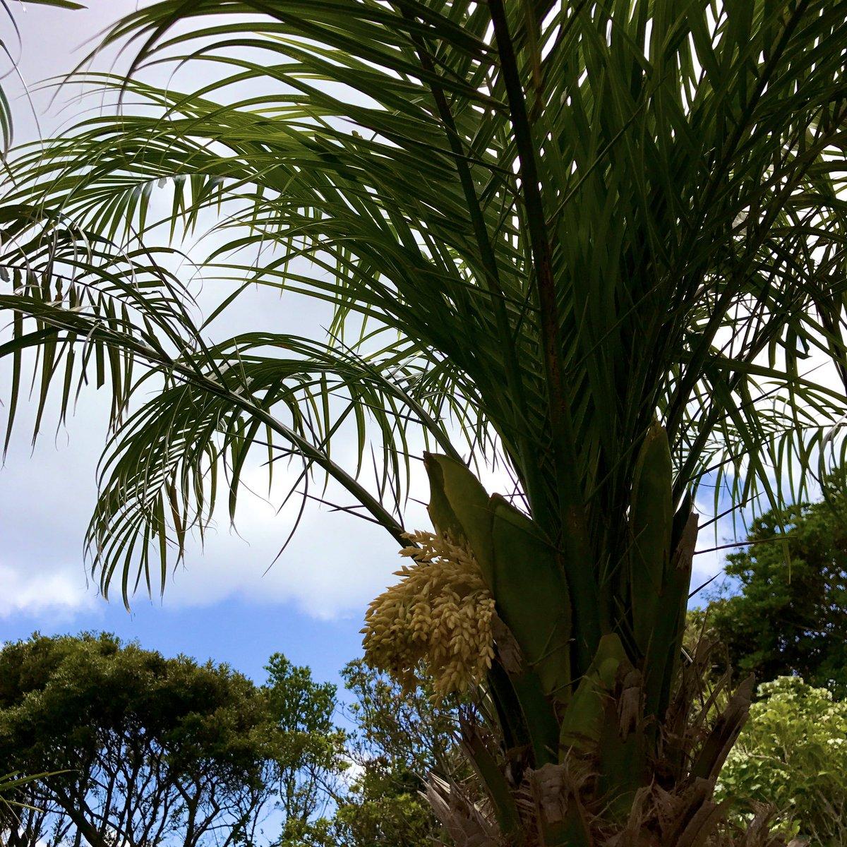 """Ņ«ä¸ˆå³¶ã®åœ'芸 V Twitter Ä»Šå¹´ã¯ç©ºæ¢…雨なのか Ä»Šæ—¥ã''いいお天気でした Ǩ²ç©'のように見えるのはフェニックス íベレニー ·ンノウヤシ Á®èŠ± íベは八丈島を代表する園芸作物で Áã®è'‰ã''切って切り葉として出荷しています Æªã""""と鉢上げして観葉植物になるものも"""
