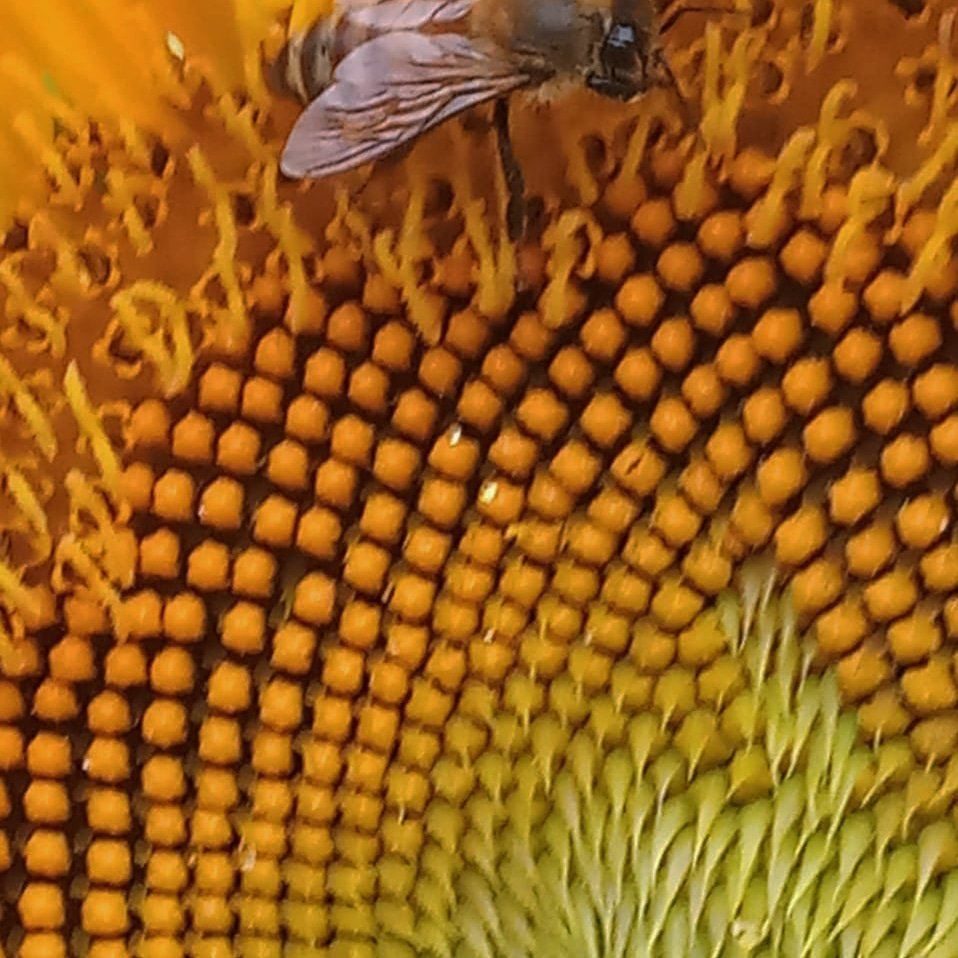 Insects especially bees are dying at record rates, we are in the middle of mass extinction, collapse of natural ecosystems Loss of habitats, pollution. Style of farming, urbanization#insectsdaily #extinction #bees🐝#pollution