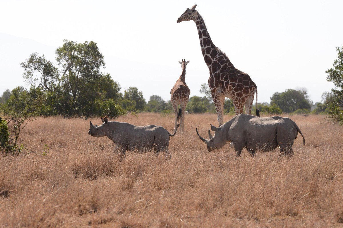 Friday quiz time for #WorldGiraffeDay: what do you call a group of giraffes (hint: there are two types!) and a group of rhinos? #FridayFun #rhino #GiraffeDay <br>http://pic.twitter.com/MLKEf6U2iF
