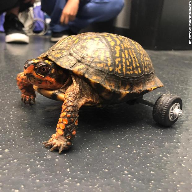 This turtle lost both his back legs, so veterinarians used a Lego toy car kit to build him a very fancy wheelchair