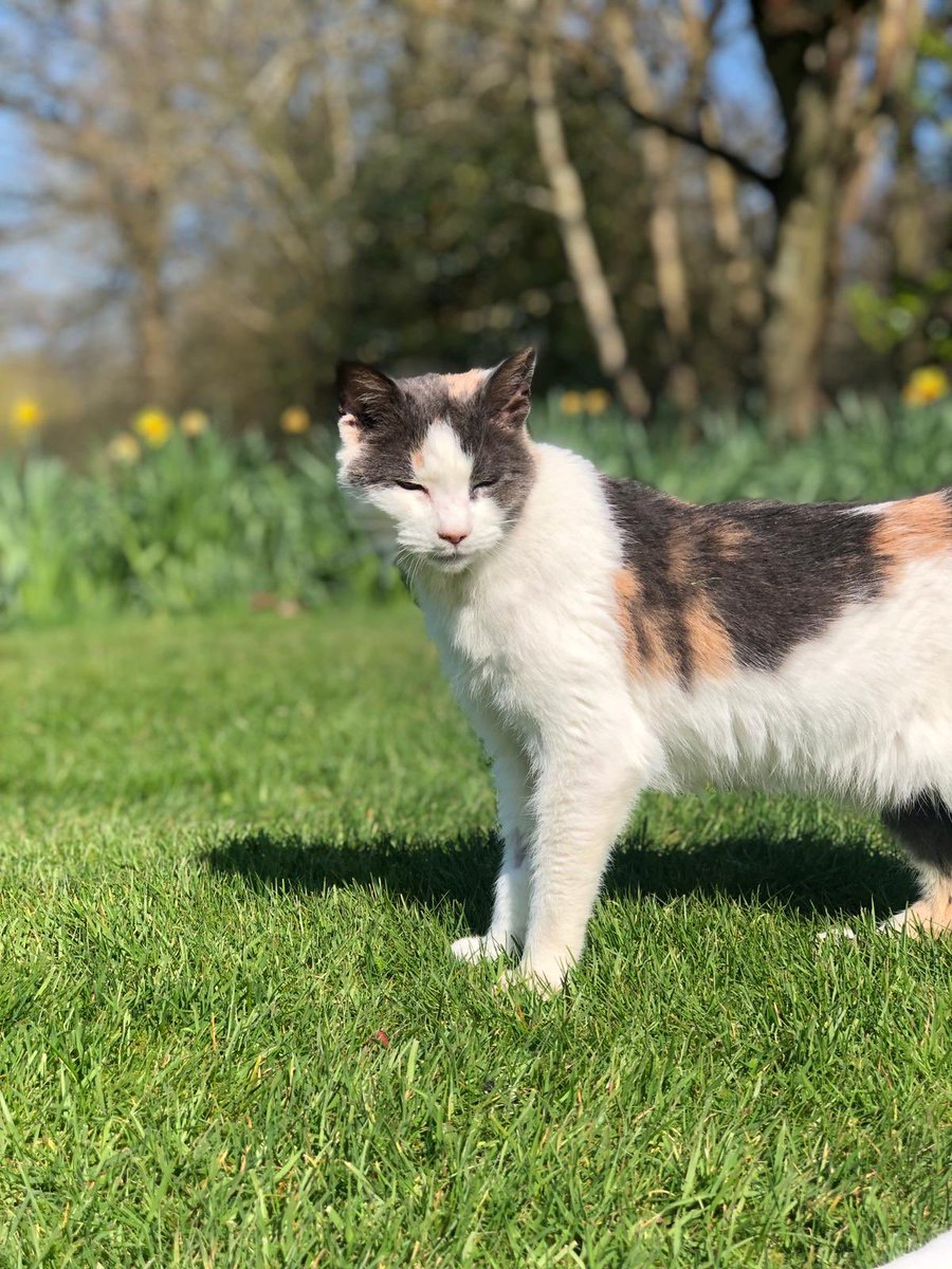 Gorgeous Miffy is still looking for a new home. This special girl has been with us for ages and has now been diagnosed with diabetes. She's easy to treat so please #AdoptDontShop! #FridayMotivation #Friyay<br>http://pic.twitter.com/sAJ5KfnM16