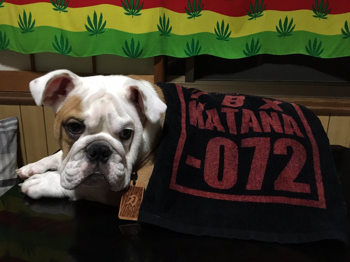 湯沢家に新しい家族が増えました  名前ゎルーシーです  我が家に来てくれてありがとう  ボチボチいろいろな所に出没するかと思いますがよろしくお願いします  仲良くしてね  #ブルドッグ #お散歩デビュー #ドッグセラピー #soundsystem #KATANA #犬と音楽の生活pic.twitter.com/pB1zxa2mwz