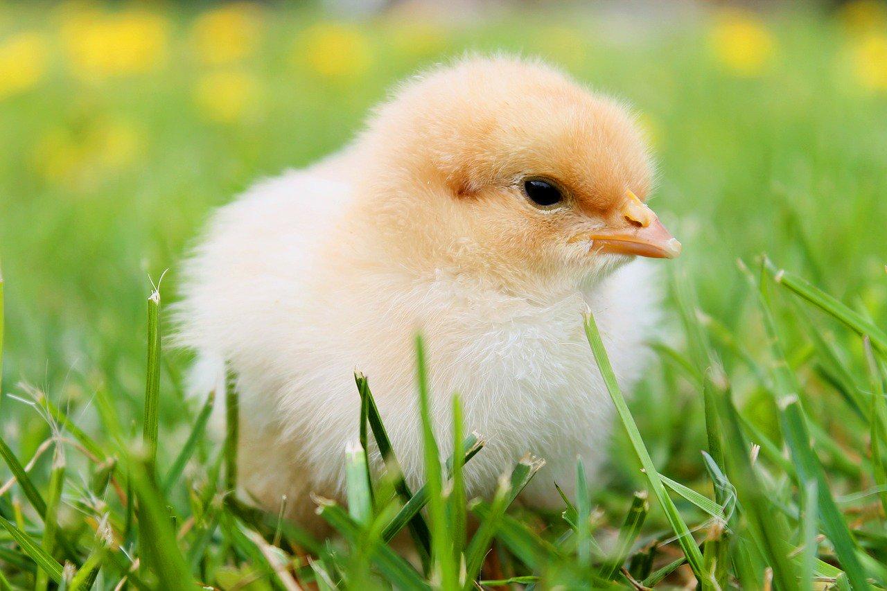 Цыпленок картинки красивые