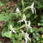 Plantathara bifolia — Orchidaceae @Ethnobotanica spotted this beauty on a roadside as we drove through Bjeshket e Nemuna National Park in #Kosovo. Commonly known as a butterfly orchid, it smelled of jasmine in the day & lilacs at night. The tubers smelled of a mix of salep and 💩