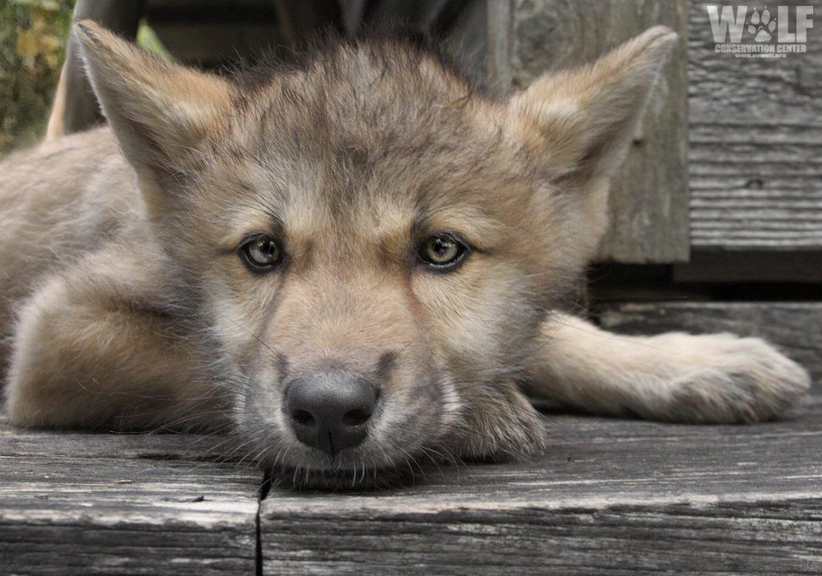 Chill like a wolf pup. #SundayThoughts