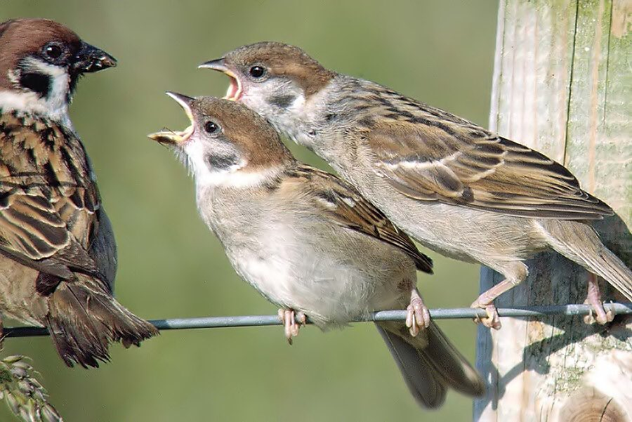 Hungry juvenile tree sparrows Bempton Cliffs #digiscoping 22/06/19<br>http://pic.twitter.com/uEhAGtxIUn