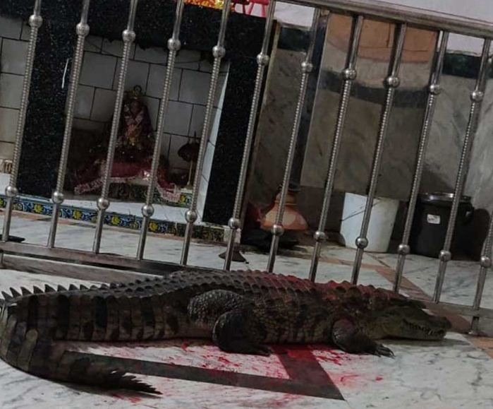 Crocodile in temple in central Gujarat, devotees worship it as mother goddess's vehicle