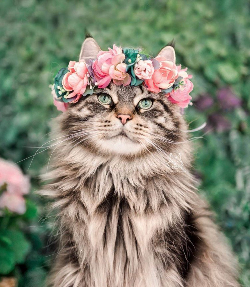 A purr-fect bridesmaid 😍❤️🐾  📸: @leo.mainecoon     #Rosewoodpet #Rosewoodcat #beautiful #cat #catsofinstagram #Flowergirl #catsatweddings #mainecoon #mainecooncats
