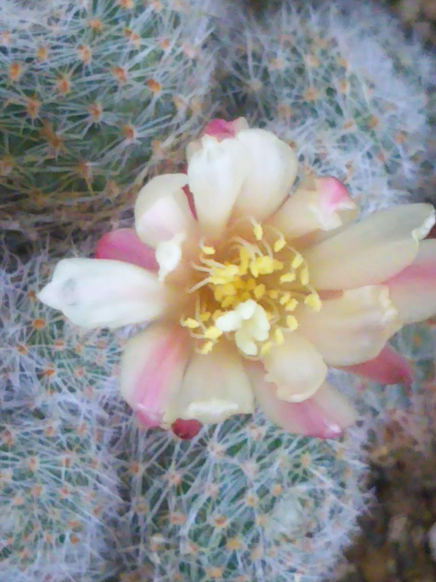 test ツイッターメディア - レブチア属アルビフローラ(仮)  悪天候の中、咲き始めたところ 咲き始めは外側の花弁の濃ピンクの線が目立ちます #ダイソー #ミニサボテン #サボテン #rebutia https://t.co/YPEXbsiloc