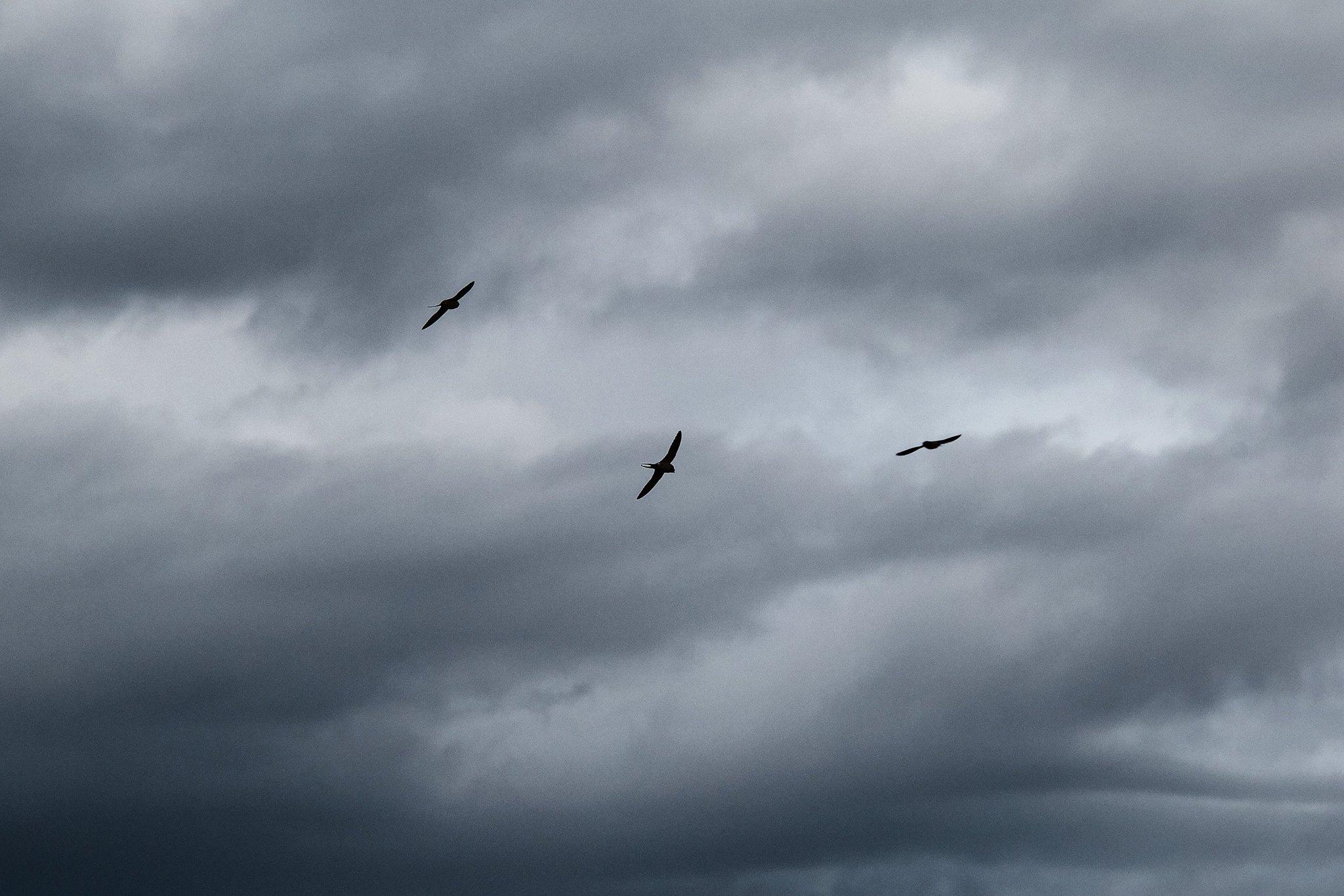 Три ласточки, парящие в тёмных дождевых облаках