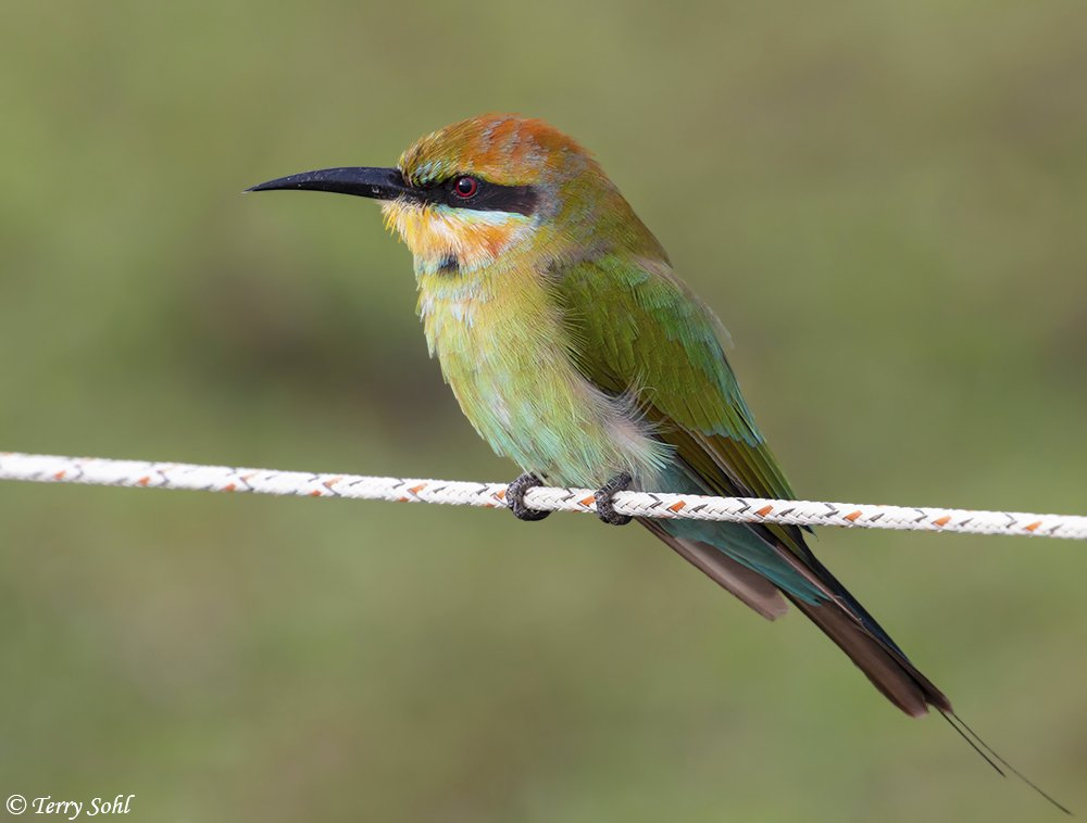 Been processing photos all day, still a long ways to go. Need to take a break for a few days. Here's a Rainbow Bee-eater, from near Port Douglas. First bee-eater of any kind I've seen, but they were downright abundant there. #Australia #birding <br>http://pic.twitter.com/FHAyzDNn3V