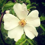 "Rosa arvensis — Rosaceae  The Gorani people of NE Albania have a lovely botanical tradition of making low alcohol sparkling beverages from wild fruits. Wild rose hips are used to make a local ""lemonada"" by fermenting the fruits in water with lemon juice for 21 days #wildfood"