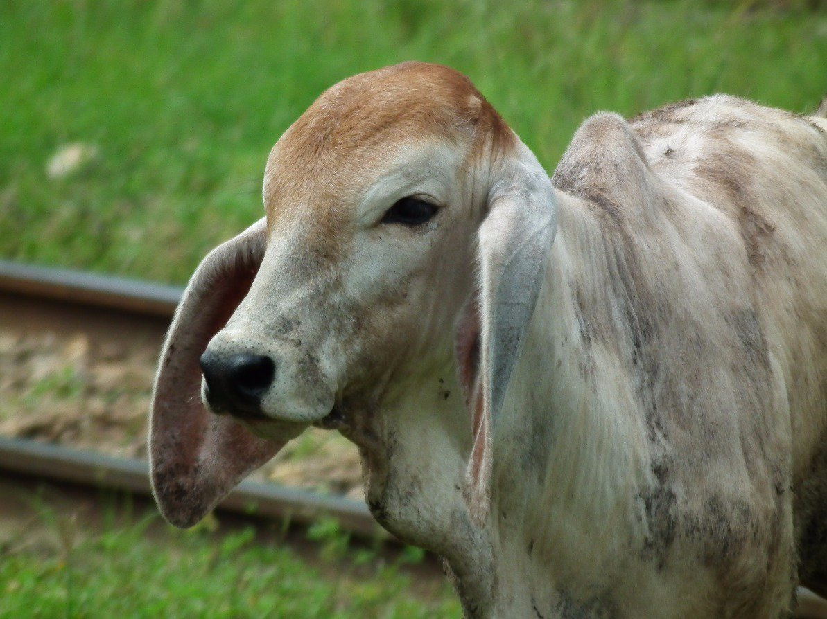 &#39;Long Eared Cow&#39; Animals  https:// eyesshare.co.uk/ProjectRetail/ Default/Translator.php?page=Main.html&amp;subpage=/WebRetail/Pages/Shop/CreatorProducts.html&amp;creator=6&amp;product=528&amp;app=eyes &nbsp; …  #awesome #shutter <br>http://pic.twitter.com/xK7GVvJgQK