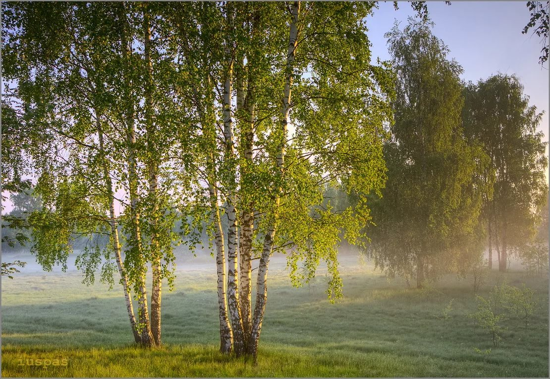 Красивые фото берез и полей
