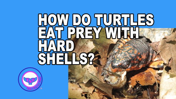 How do #Turtles eat prey with hard shell? -  http://www. thesuperfins.com/how-do-turtles -eat-prey-with-hard-shell/ &nbsp; …   #animals #biology #oceans #whales #dolphins #fish #Eating #Sheldon<br>http://pic.twitter.com/d2YIHJfDn5