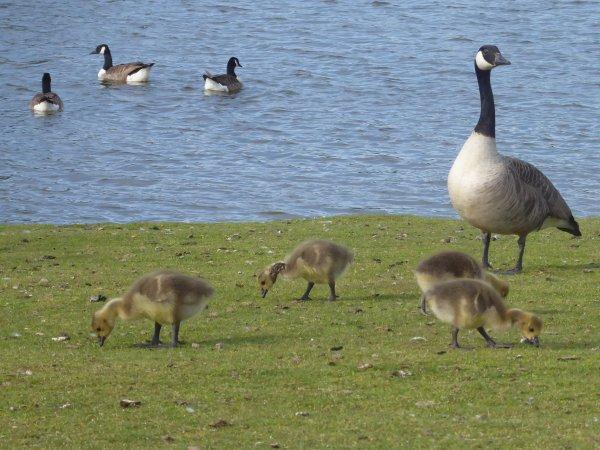 #Geese at #Par South Cornwall  photos by @AHaglington @CornwallSG #Cornwall @StAustellSG #StAustell  #Birds #Birdwatching #RSPB<br>http://pic.twitter.com/8vtkylB2VK