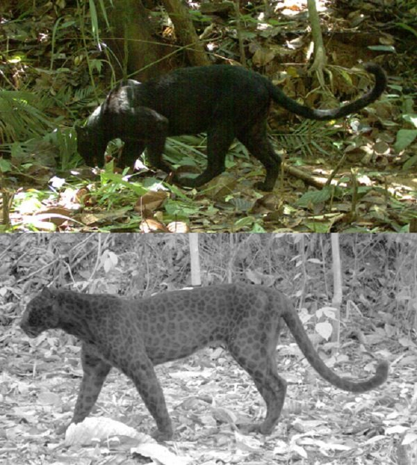 Panthers have spots that are only visible in long-wave infrared. https://t.co/MC9sDX3cYE