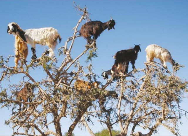 Tree climbing goats help argan trees disperse seeds https://t.co/dWNkqdxxKe https://t.co/dH7hKvC34H