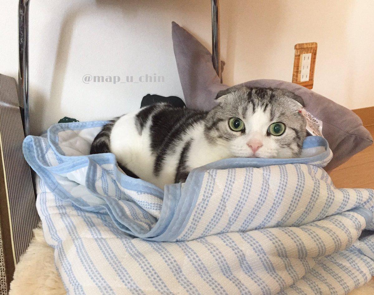 猫用のひんやりマットは使わないのに人間用のひんやりシーツは使うんだよなぁ pic.twitter.com/Zh5kdYb6nj