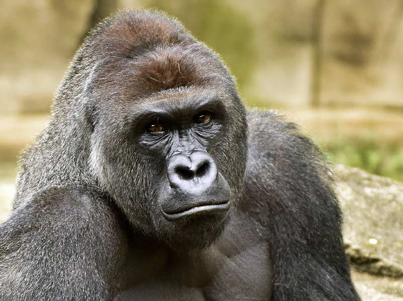 Harambe the gorilla killed 1 year ago today; Cincinnati Zoo plans no public memorial https://t.co/Nm1DBINZy5