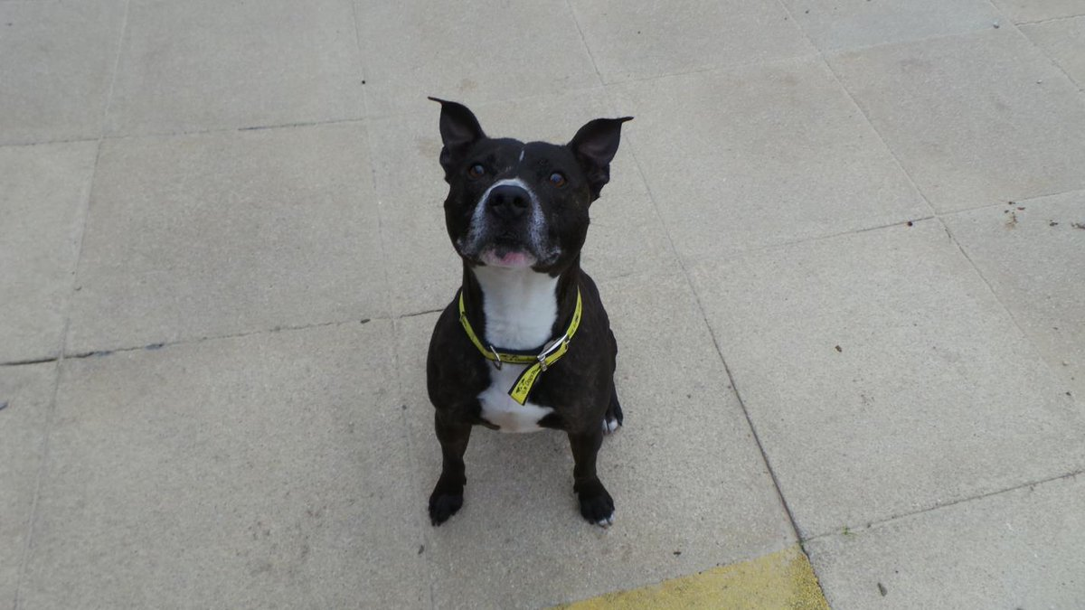 Stanley is a super sweet, older boy who still adores his walks! @DogsTrust #ADIFL #Rehoming #Sunday #Weekend #SBT #AdoptDontShop<br>http://pic.twitter.com/aOJVfC1dlN