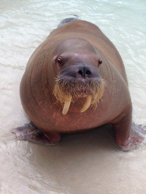 Marineland mourning loss of Sonja the Walrus. Details: https://t.co/OI...