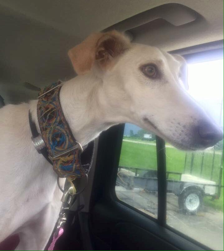 A huge thanks to the #volunteers who helped Val the Saluki travel to her new foster home in Michigan. #adoptable #welltraveled<br>http://pic.twitter.com/ouZ4Sy4G4U