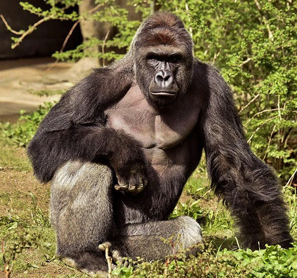 I can't believe it's already been a year. We miss you buddy. #Harambe...