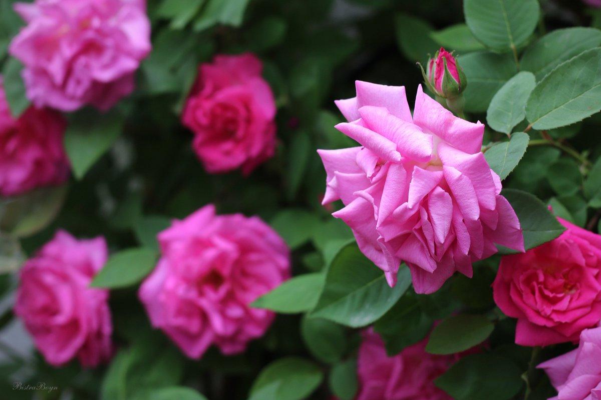"Zephirine Drouhin Climbing Rose bistra boyn on twitter: ""old french bourbon climbing rose"