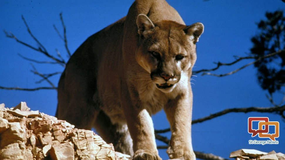 Cougar killed, left in tree in apparent poaching incident. #StGeorge #CedarCity #SoUtah #Utah  http://www. stgeorgeutah.com/news/archive/2 017/05/28/jcw-cougar-killed-left-in-tree-in-apparent-poaching-incident/ &nbsp; … <br>http://pic.twitter.com/FUYhVB4BHj