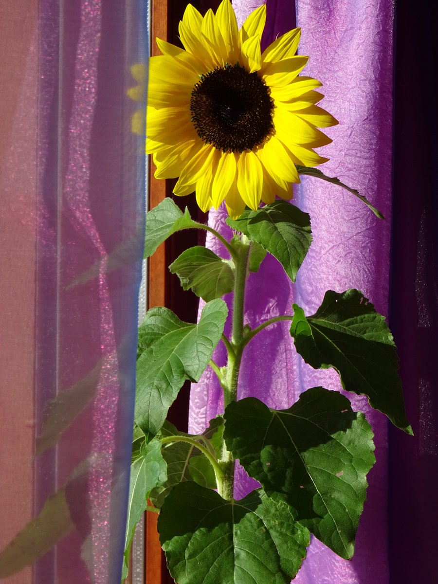 my sunflower is perfection! so much yellow! so much sunny! so beautiful!  @DrBrianMay @beccari_laura  @AnnaR966  #sunflower #girasole<br>http://pic.twitter.com/maUZ5E1Zs0