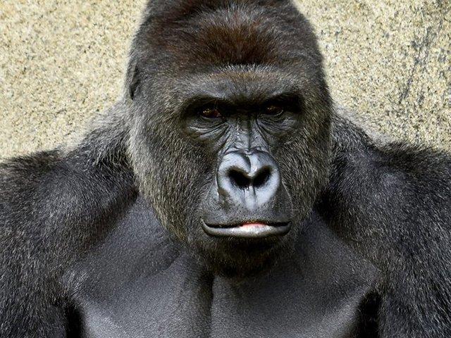 Harambe's death marked unceremoniously at zoo https://t.co/k6N5KxfXXd